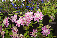 Lush  Flower Garden with Clematis Josephine vine, double center pink, climbing on black picket fence support, Delphinium , Digitalis foxgloves, roses, mixed garden use, vines