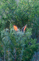 650228036v a wild blacktail jackrabbit lepus californicus attempts to conceal himself in some dense foliage without success in the rio grande valley of south texas