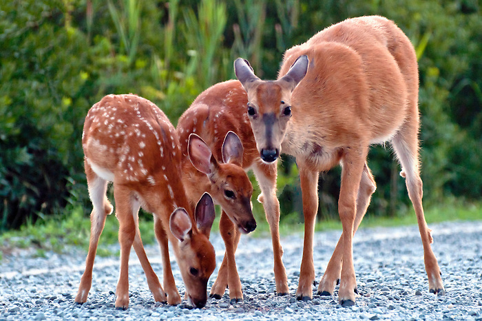 Mom and two fawns at the Fire Island National Seashore, near the lighthouse