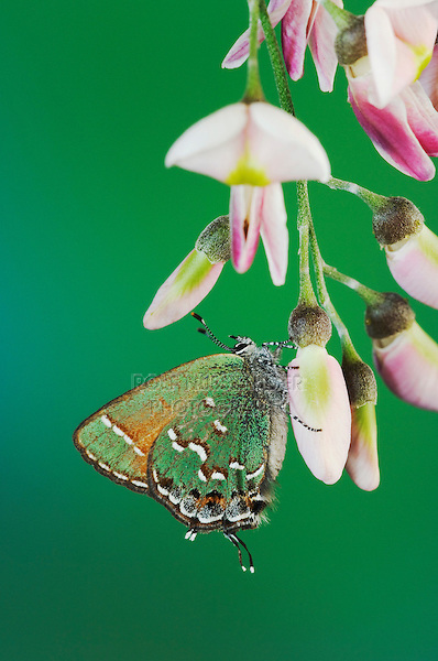 Juniper Hairstreak, Callophrys gryneus, adult on blossom of Eve's Necklace (Sophora affinis), Uvalde County, Hill Country, Texas, USA