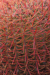 Detail of Barrel Cactus (Ferocactus cylindraceus) in the Cottonwood Mountains, Joshua Tree National Park, California USA