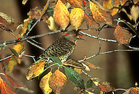 """Northern Flicker Bird"" Eating Dogwood berries in Autumn, Midwest"