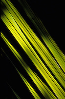 Tropical Vegetation backlit leaf