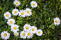 A cluster of daisies in the grass at Crown Memorial State Beach in Alameda, California.