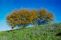 Texas Bluebonnet, Lupinus texensis and Huisache tree, Acacia farnesiana, blooming, San Antonio,Texas, USA