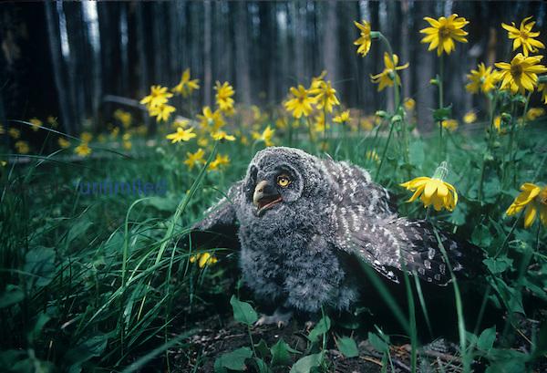 Immature Great Gray Owl. (Strix nebulosa) North America