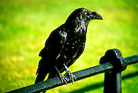 Ravens, residents of the Tower of London, London, England