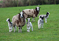 Jacob ewes and lambs, Longridge, Lancashire, England.