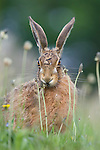 Urban Brown hare