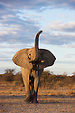 Botswana, Nxai Pan National Park, African elephant bull (Loxodonta africana) lifting trunk and flapping ears as a warning