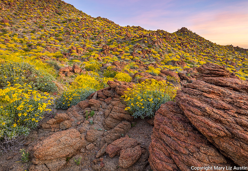 Anza-Borrego Desert State Park, CA: Flowering brittlebush (Encelia farinosa) growing among the sandstone boulders and hilllside in Glorieta Canyon at sunrise