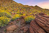 Anza-Borrego Desert State Park, CA: Flowering brittlebush (Encelia farinosa) growing among the sandstone boulders and hilllside in Glorieta Canyon at sunrise