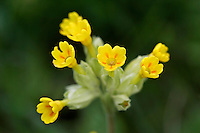 Cowslip growing, England
