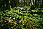 Raccoons in Olympic National Park, Washington.