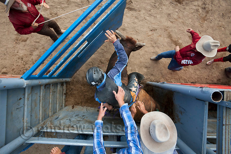 Overhead view of bull rider in action as bucking chute is opened.  Mareeba Rodeo, Mareeba, Queensland, Australia