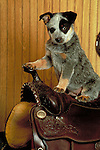 Australian Cattledog<br /> <br /> Shopping cart has 3 Tabs:<br /> <br /> 1) Rights-Managed downloads for Commercial Use<br /> <br /> 2) Print sizes from wallet to 20x30<br /> <br /> 3) Merchandise items like T-shirts and refrigerator magnets