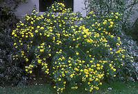 Coronilla valentina subsp glauca AGM