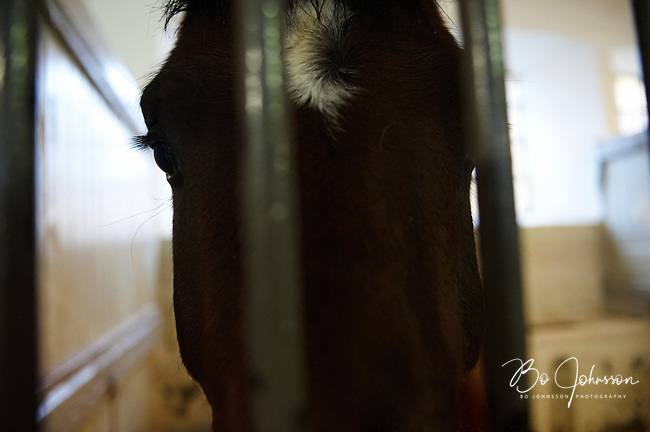 Captain Jack Sparrow (born 2006, e Calato, ue Carentino, stallion, owner Jan Wikskar) in the Stallion Stable of Flyinge Stud Farm in southern Sweden.<br /> Flyinge, one of the oldest stud farm in the world, have been breeding horses since the 12th century. In 1661 Flyinge was appointed as a Royal Stud by King Karl X Gustav.<br /> Flyinge has a wide range of activities, including breeding of the Swedish Warmblood, equestrian sports, veterinary medicine, training and various events.<br /> January 2009.