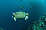 Green turtle (Chelonia mydas)  with schooling jacks (Cranax sexfasciatus) behind. Sipadan underwater, Sabah, Malaysia