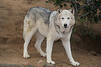 694920020 a captive female gray wolf lair canis lupus at the wildlife waystation wildlife recovery and care facility in southern california