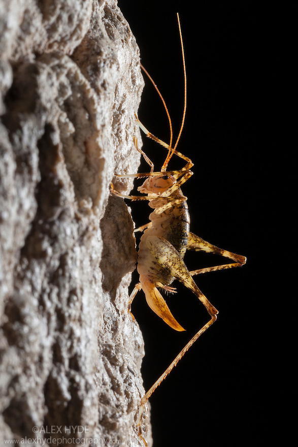 Cave Cricket female (Troglophile neglectus) on the side of a stalactite in a limestone cave. Plitvice Lakes National Park, Croatia. January.