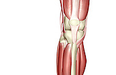 An anterior view of the muscles of the knee. Royalty Free