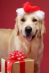 Portrait of Golden Retriever in Santa hat with Christmas gift. Isolated on red background. Brody - Gray Valley Kennels - Toronto.