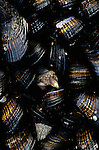 Low tide along the southern Oregon Coast with a group of mussels close up at sunset Cape Sebastian Oregon State USA