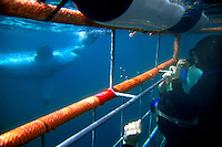 GANSBAAI, SOUTH AFRICA, DECEMBER 2004. A Great White goes for the bait while divers watch from the safety of a cage. Brian Mc Farlane organises Great White Shark cage diving tours out of Gansbaai. Gansbaai is one of the best places in the world to see the Great white in its natural habitat. Photo by Frits Meyst/Adventure4ever.com