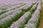 Rows and rows of purple flowers are growing in late spring at a flower farm in rural Illinois.