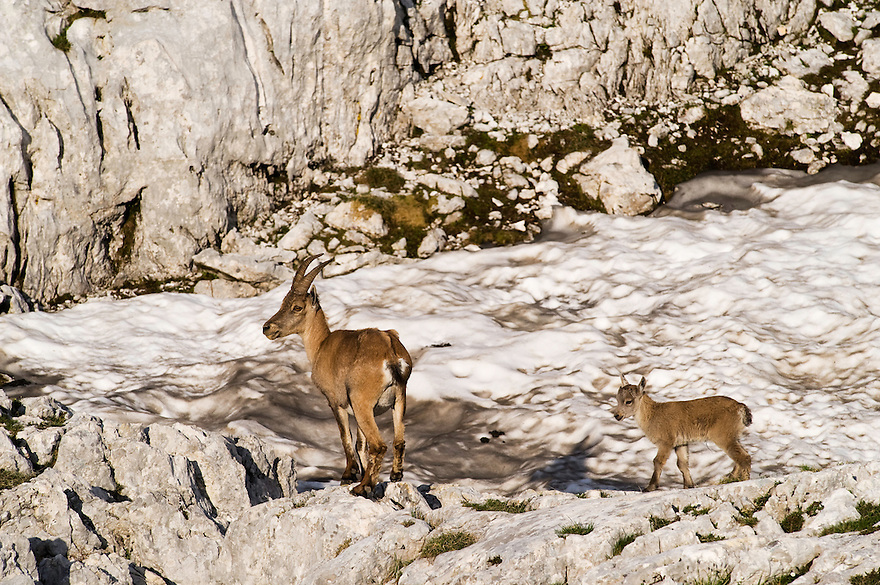 Ibex (Capra ibex), female with young<br /> Julian Alps<br /> Triglav National Park, Slovenia<br /> July 2009