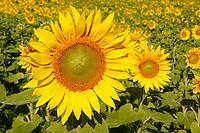 Field of Sunflower flowering heads