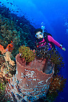 Female scuba diver, Suelaine Gin observing the colorful crinoids adorning a barrel sponge along the edge of a coral reef off Papua New Guinea. Model Released.