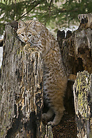 Bobcat watching intently while standing in the hollow of an old tree stump - CA