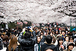 Sightseers take photos of cherry blossoms at Ueno Park in Tokyo, Japan on 31 March, 2010.