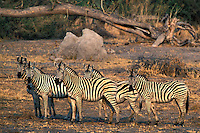 Burchell's Zebra.Equus burchelli..Chitabe Trails Camp.Okavango Delta.Botswana, Africa.1998..Ralph Arwood.Inside-Out Photography, Inc..PO Box 7578.Naples, FL 34101.941-649-4209.RalphArwood@earthlink.net