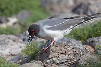 Swallow tail gull, South Plaza Island, Galapagos Islands, Ecuador