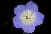 105000002 a wild baby blue eyes wildflower nemophila menzies puts forth a large pale blue flower in spring in the santa monica mountains national recreation area of los angeles county california