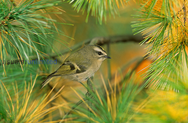 Female Golden-crowned Kinglet (Regulus satrapa), North America.