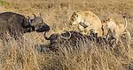 Lions corner an African buffalo, Okavango Delta, Botswana