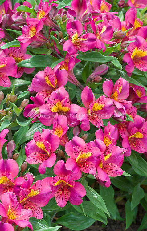 Alstroemeria 'Louise' Princess series with purple mauve flowers and yellow centers, summer flowering bulb