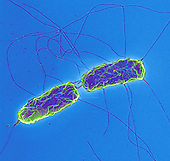 Salmonella typhimurium Bacteria completing fission and showing their flagella. SEM.