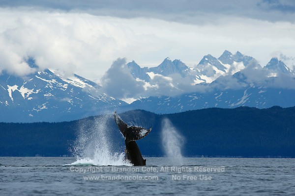 pu50374-D. Humpback Whale (Megaptera novaeangliae) tail flukes. Alaska, USA, Pacific Ocean..Photo Copyright © Brandon Cole. All rights reserved worldwide.  www.brandoncole.com..This photo is NOT free. It is NOT in the public domain. This photo is a Copyrighted Work, registered with the US Copyright Office. .Rights to reproduction of photograph granted only upon payment in full of agreed upon licensing fee. Any use of this photo prior to such payment is an infringement of copyright and punishable by fines up to  $150,000 USD...Brandon Cole.MARINE PHOTOGRAPHY.http://www.brandoncole.com.email: brandoncole@msn.com.4917 N. Boeing Rd..Spokane Valley, WA  99206  USA.tel: 509-535-3489
