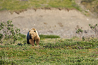 Grizzly bear in Atigun canyon of the Brooks Range, Alaska