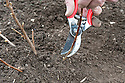 Planting a container-grown blackcurrant bush. Image 7 of 10. Immediately after planting, prune the stems almost to the base. It sounds harsh but in fact gets the bush off to the right start.