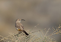 581970003 a wild leconte's thrasher toxostoma lecontei perches on a sagebrush plant stem in kern county california
