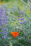 California poppy and lupine at the CA Poppy Reserve