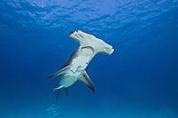 RR1757-D. Great Hammerhead Shark (Sphyrna mokarran), feeds on stingrays on the sand bottom, broad head has special sensory cells on underside. Bahamas, Atlantic Ocean.<br /> Photo Copyright &copy; Brandon Cole. All rights reserved worldwide.  www.brandoncole.com