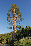 pine near beach at D.L. Bliss State Park