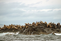 Haida Gwaii (Queen Charlotte Islands), Northern BC, British Columbia, Canada - Colony of Steller Sea Lions (Eumetopias jubatus) basking on Reef Island, Gwaii Haanas National Park Reserve and Haida Heritage Site
